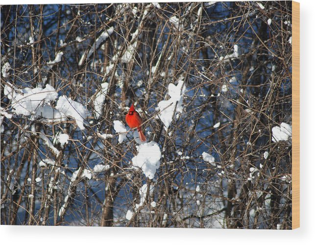 Cardinal Wood Print featuring the photograph The Beauty Of A Cardinal by Jackie Reitsma