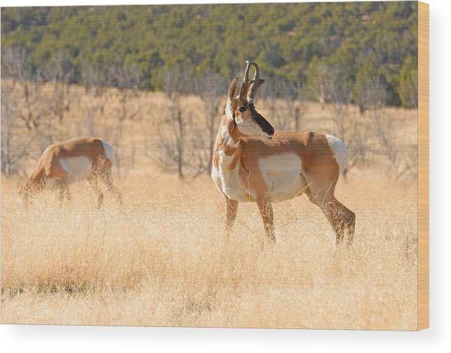 Pronghorn Wood Print featuring the photograph Utah Pronghorn by Dennis Hammer