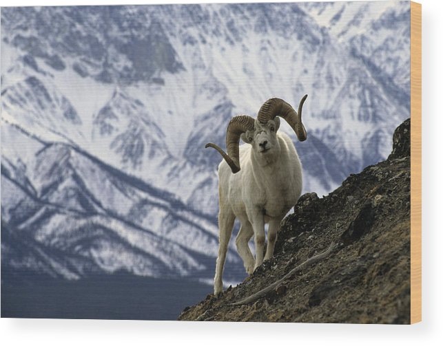 Nobody Wood Print featuring the photograph Very Large Dall Sheep Ram On The Grassy by Michael S. Quinton
