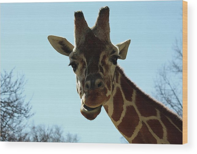 Maryland Wood Print featuring the photograph Very Tall Giraffe by Ronald Reid
