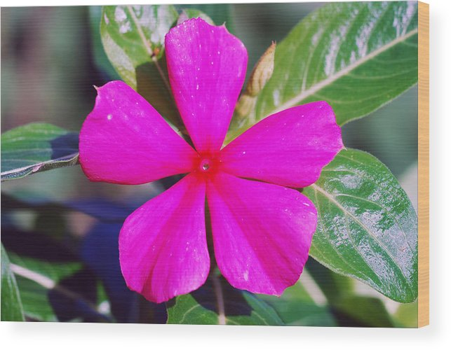 Ashland Wood Print featuring the photograph Vinca by Erik Berglund