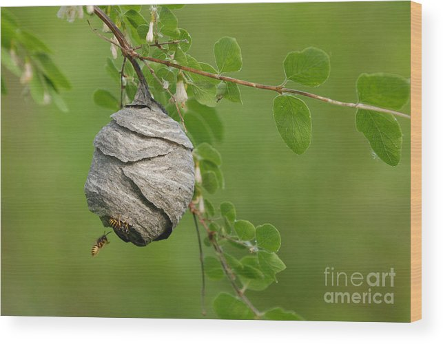 Wasp Wood Print featuring the photograph Wasp by Dennis Hammer
