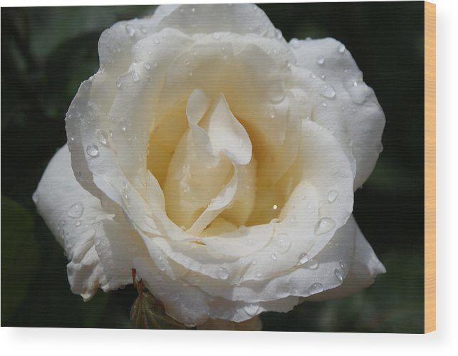 Flowers: White Rose With Dew Drops Wood Print featuring the photograph White Rose With Dew Drops by Ann O Connell