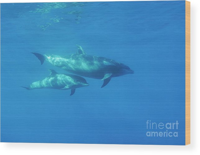 Sun Wood Print featuring the photograph Wild Bottle-nosed Dolphin Mother And Calf by Sami Sarkis