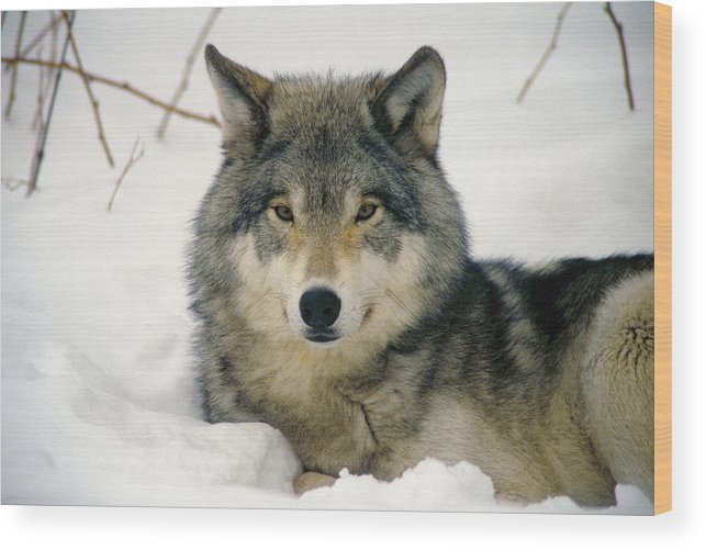Wolf Wood Print featuring the photograph Wolf Rests In Snow by Steve Somerville
