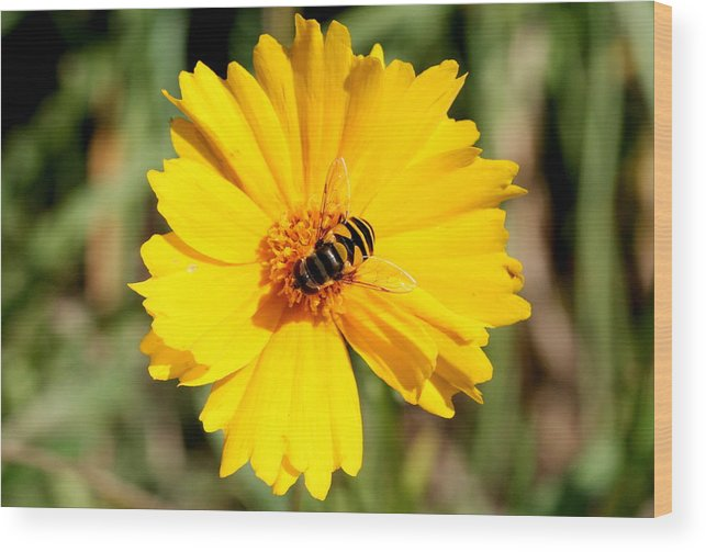 Bee Wood Print featuring the photograph Yellow On Yellow by Jason Hochman