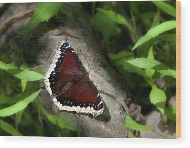 Mourning Cloak Butterfly Wood Print featuring the photograph Mourning Cloak Butterfly by Christina Rollo