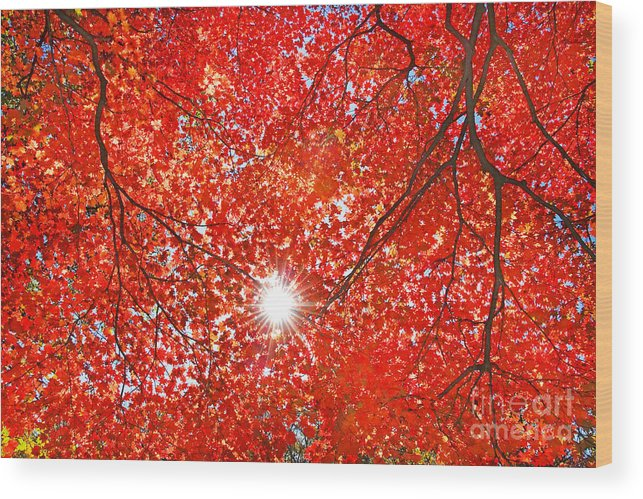 Forest Wood Print featuring the photograph Sun Light Through The Red Fall Maple by Maxim Tupikov