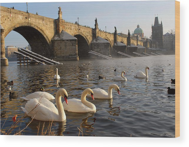 Arch Wood Print featuring the photograph Swans And Charles Bridge by Dibrova