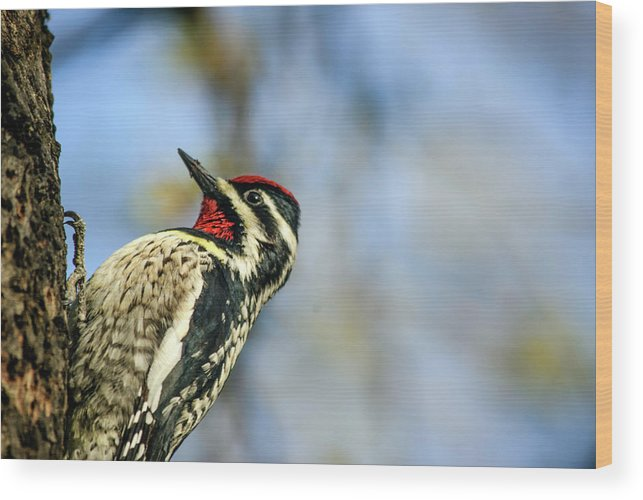 Animal Themes Wood Print featuring the photograph Yellow Bellied Sapsucker by By Ken Ilio