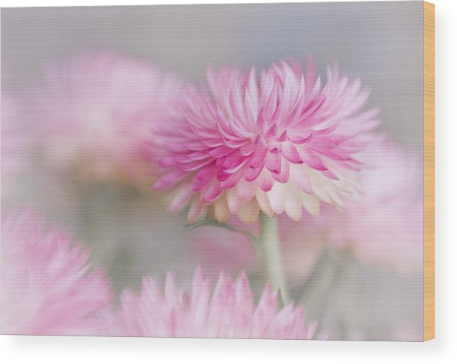 Bloom Wood Print featuring the photograph Cotton Candy by David and Carol Kelly