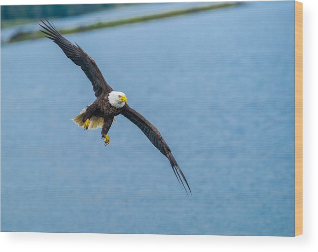 Animal Wood Print featuring the photograph Wing Span by Kyle Breckenridge