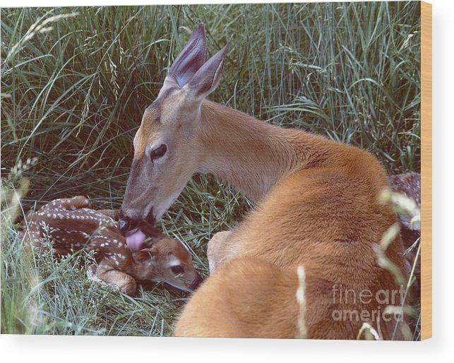 Nature Wood Print featuring the photograph White-tailed Deer by Jack R Brock