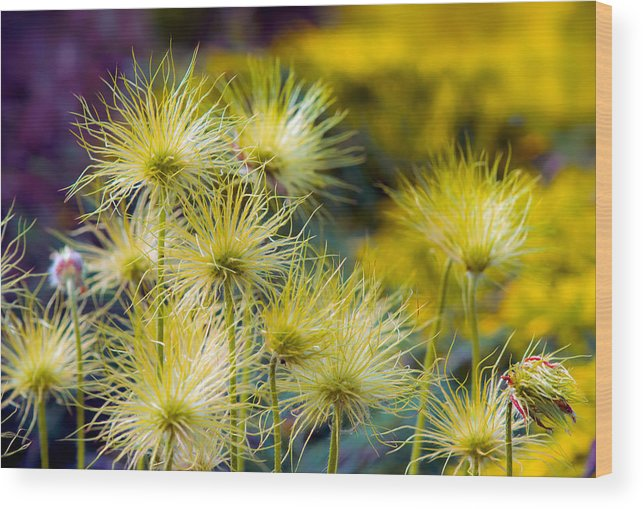 Flowers Wood Print featuring the photograph Bad Hair Day by Tomasz Dziubinski
