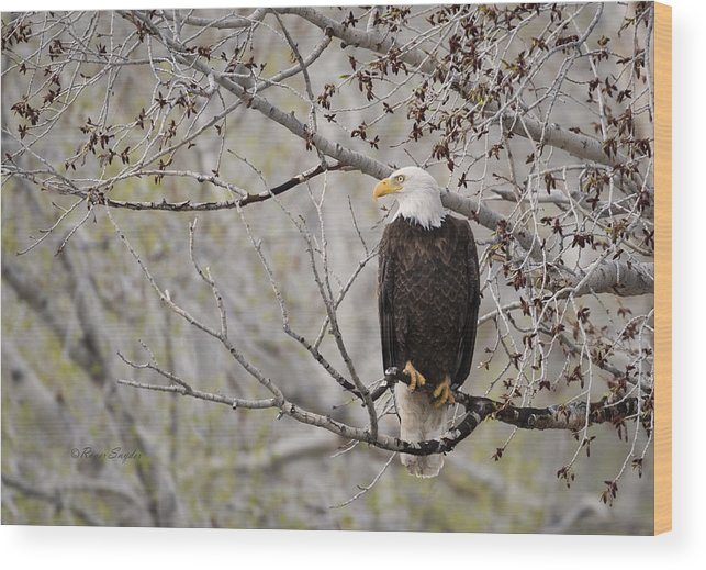 Beautiful Wood Print featuring the photograph Bald Eagle At Belfry Mt by Roger Snyder