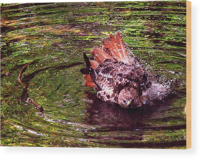 Bird Wood Print featuring the photograph Bathing Red Tailed Hawk by Lawrence Golla