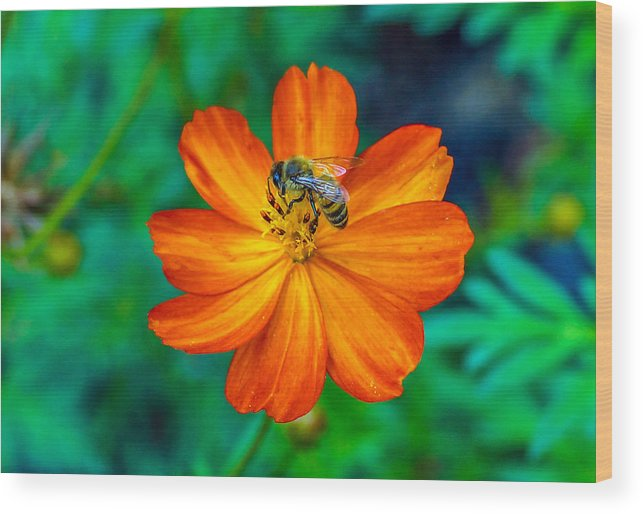 Bee Wood Print featuring the photograph Bee On The Orange Cosmos by Randy Straka