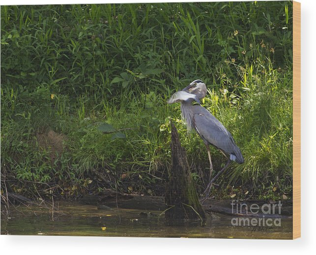 Bird Wood Print featuring the photograph Blue Heron With A Fish-signed by J L Woody Wooden