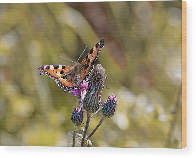 Butterfly Wood Print featuring the photograph Butterfly On Tistle Sep by Leif Sohlman