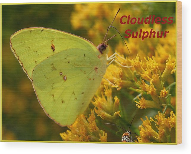 Butterfly Wood Print featuring the photograph Cloudless Sulphur by April Wietrecki Green