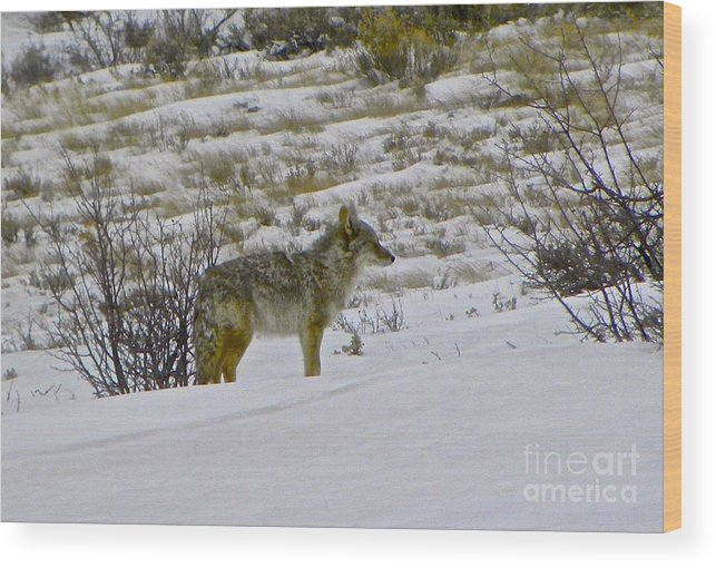 Coyote Wood Print featuring the photograph Coyote In The Snow by Tisha Clinkenbeard