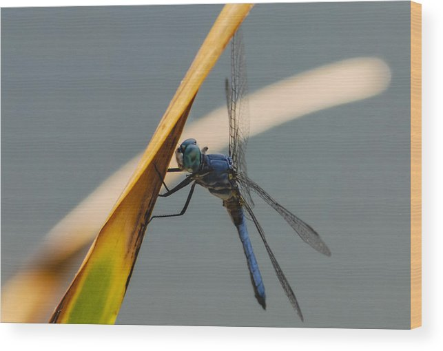 Dragonfly Wood Print featuring the photograph Dragonfly by Dennis Reagan