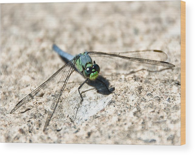 Dragonfly Wood Print featuring the photograph Eastern Pondhawk by Cheryl Baxter