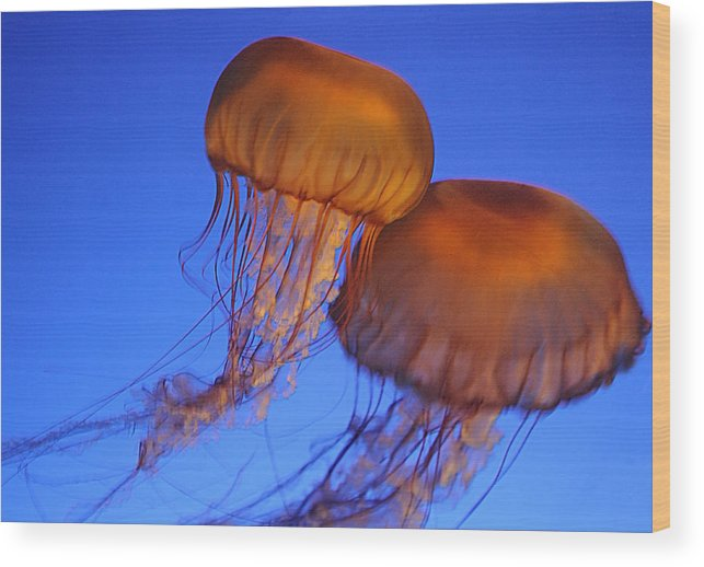 Vancouver Wood Print featuring the photograph Jelly Fish In Harmony by Brenda Kean