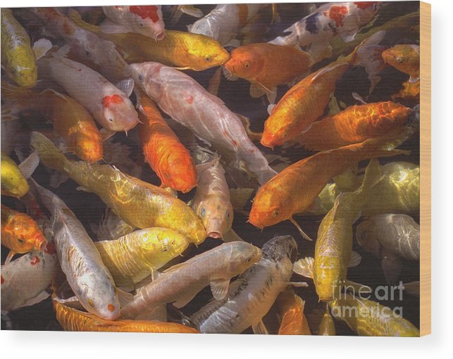 Koi Fish Nishikigoi brocaded Carp Koi Coloration Wood Print featuring the photograph Koi Fish Nishikigoi by David Zanzinger