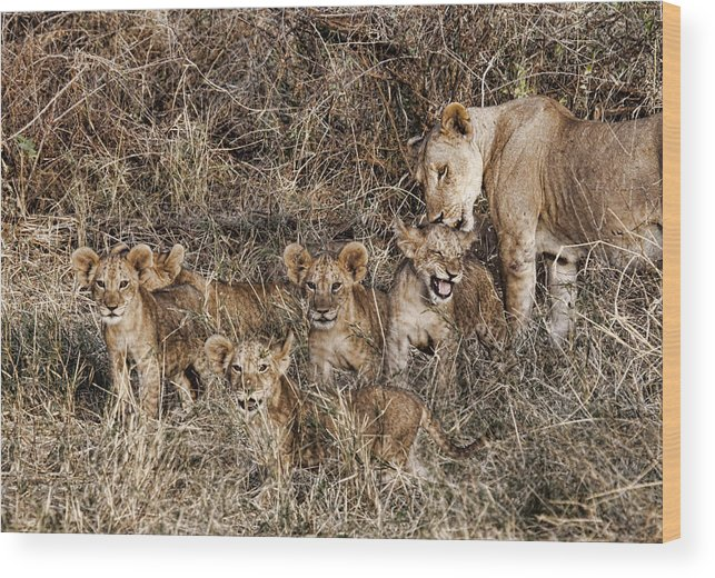 Lions Babies Cubs Mother Mom Licking Bathing Group Kenya Africa Wood Print featuring the photograph Lion Love by Wendy White