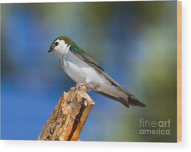 Animal Wood Print featuring the photograph Male Violet-green Swallow by Anthony Mercieca