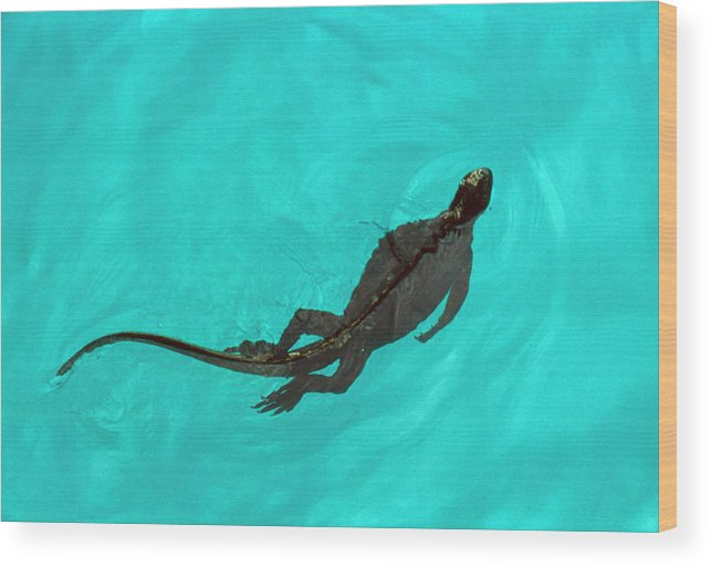 Marine Iguana Wood Print featuring the photograph Marine Iguana (amblyrhynchus Cristatus) Swimming by John Beatty/science Photo Library