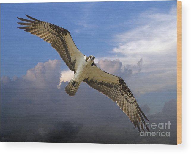 Osprey Wood Print featuring the photograph Osprey In Flight by TJ Baccari