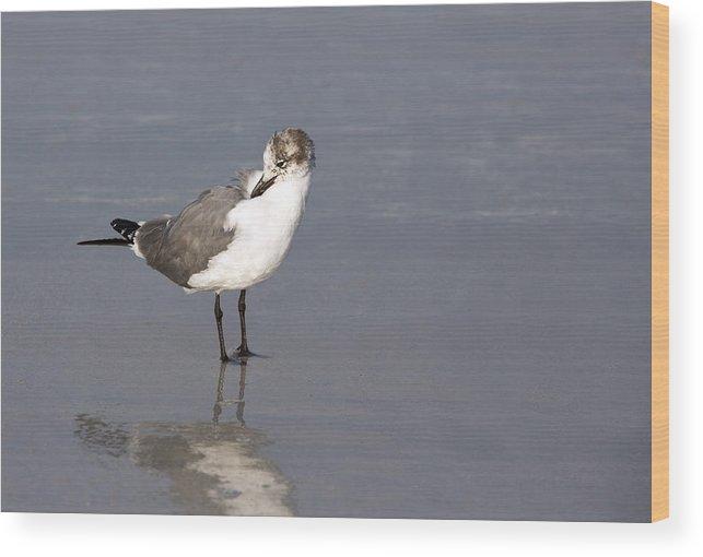 Bird Wood Print featuring the photograph Preening Gull by Gerald Marella