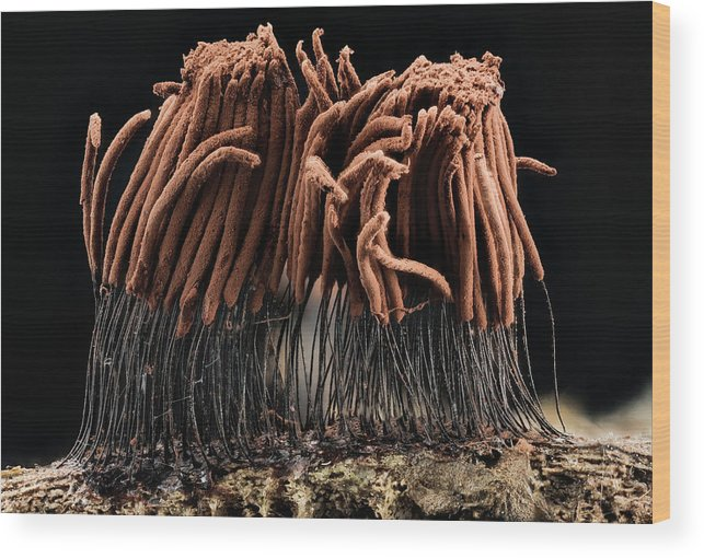 Identification Wood Print featuring the photograph Slime Mould by Us Geological Survey