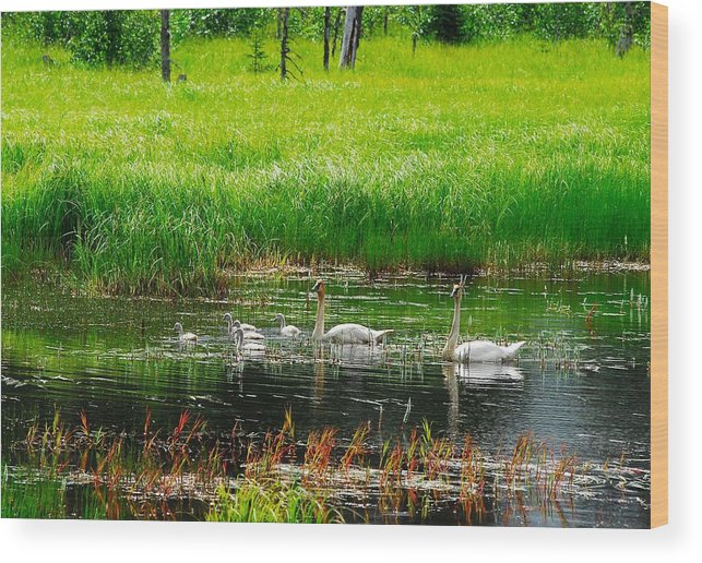 Swan Wood Print featuring the photograph Swan Family by Laura Lowrey