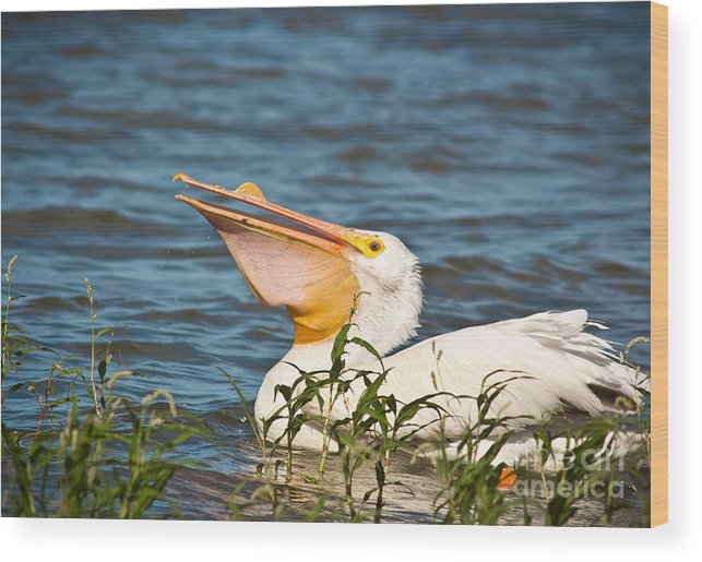 Animal Wood Print featuring the photograph The White Pelican by Robert Frederick