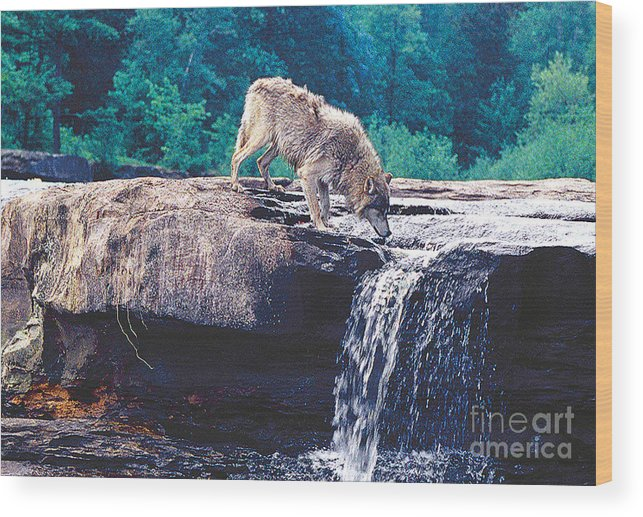 Wildlife Wood Print featuring the photograph Thristy Wolf by Robert Kleppin