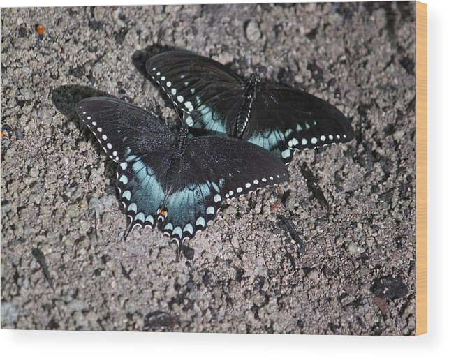 Spicebush Butterfly Wood Print featuring the photograph Two By Two by Suzanne Gaff