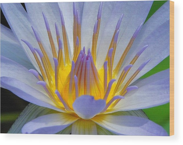 Water Lillies Wood Print featuring the photograph Water Lily 18 by Allen Beatty