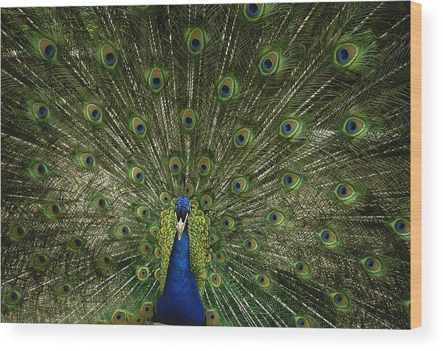 Animals Wood Print featuring the photograph A Male Peacock Displays His Feathers by Joel Sartore