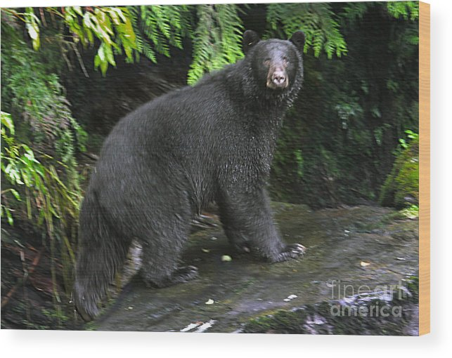 Black Bear Wood Print featuring the photograph Black Bear Neets Bay Alaska by John Rowe