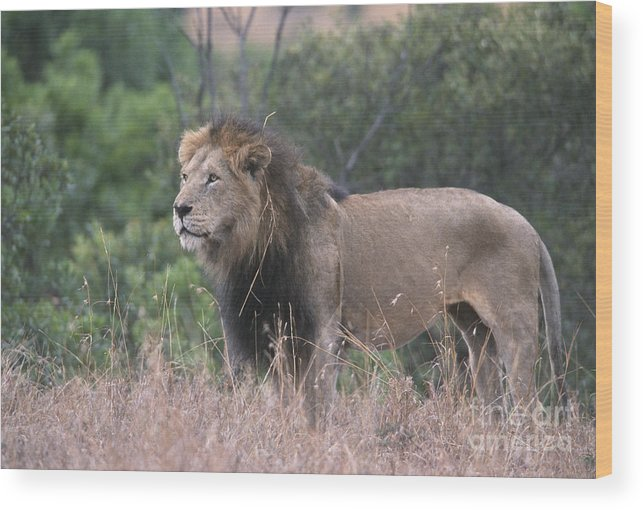 Lion Wood Print featuring the photograph Black Maned Lion by Sandra Bronstein