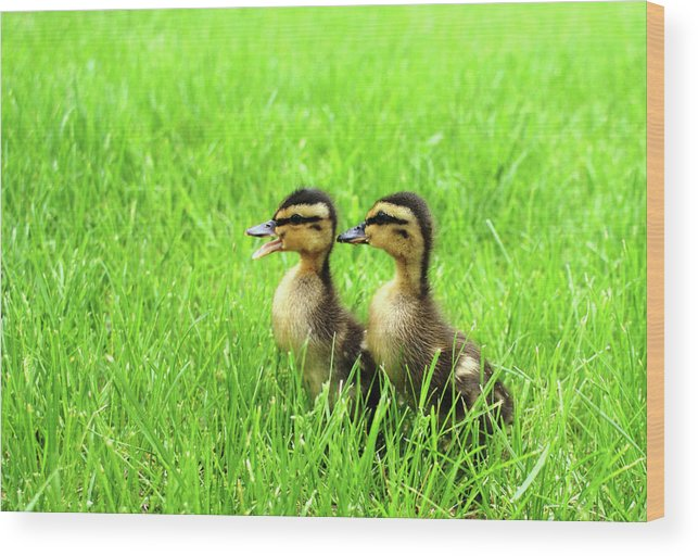 Ducks Wood Print featuring the photograph Duckling Chatter by Geralyn Palmer