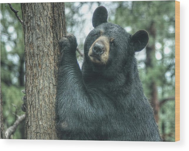 Bear Wood Print featuring the photograph Forlorn Bear by Diane Backs-Mancuso