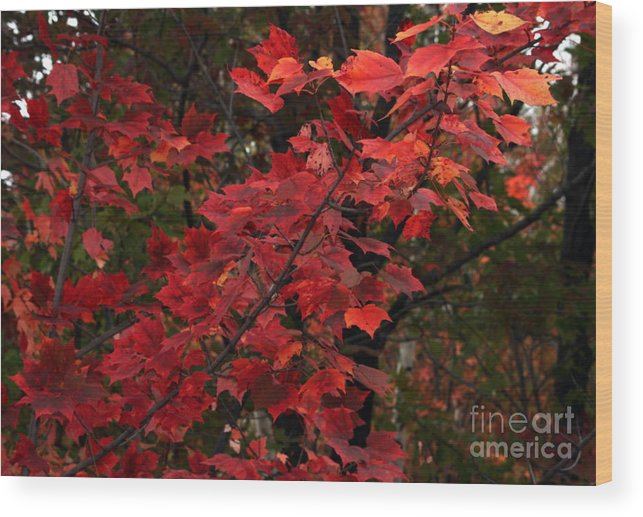 Fall Wood Print featuring the photograph The Coming Change by Marjorie Imbeau