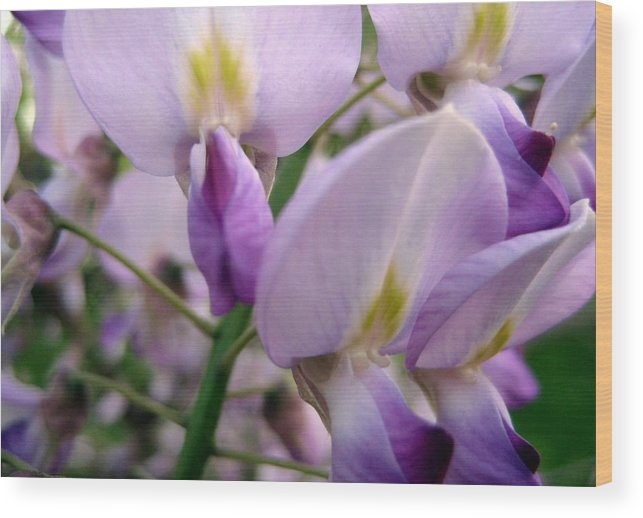 Wisteria Wood Print featuring the photograph Wisteria Flowers by Susan Carella