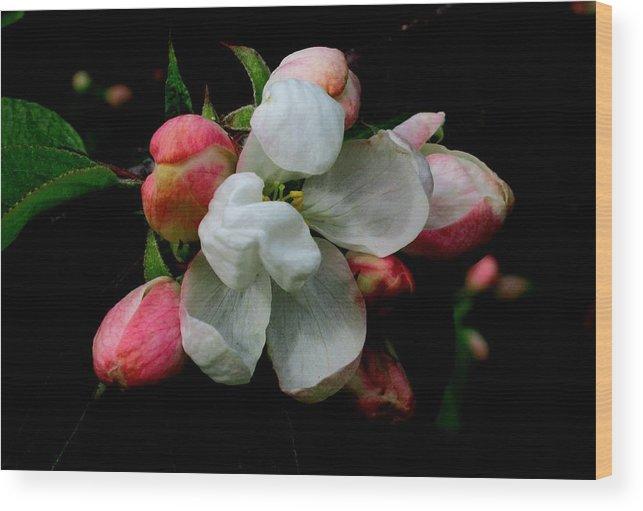 Apple Wood Print featuring the photograph Apple Blossoms by Karen Molenaar Terrell