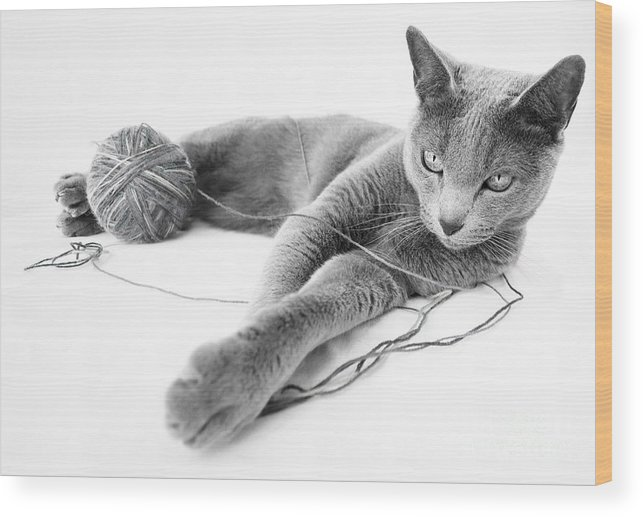 Russian Wood Print featuring the photograph Russian Blue 1 by Nailia Schwarz