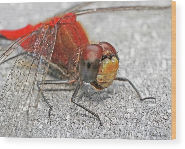 Cazenovia Dragonfly Wood Print featuring the photograph A Friendly Red Dragon by John Kennedy